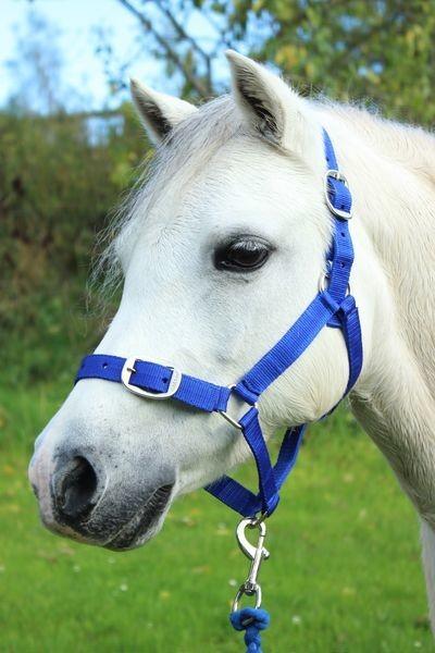 Royal Blue - Pony