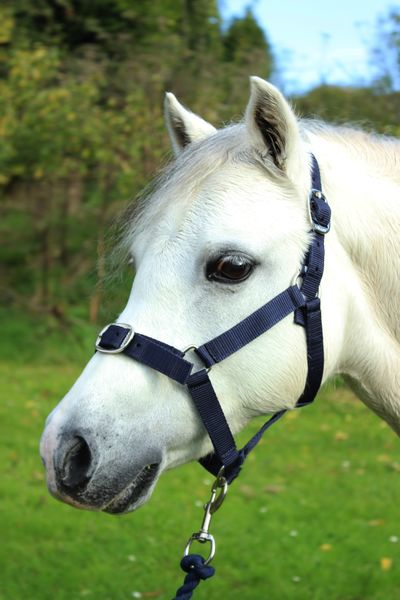 Red//Navy Navy Shetland or Pony Nylon Headcollar