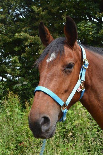 Padded Headcollar - Pony image #1