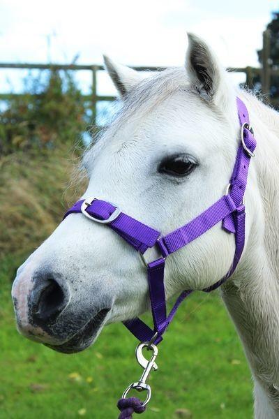 Purple - Pony